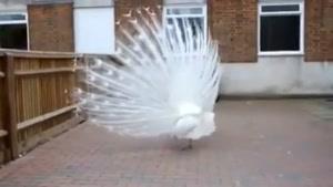رقص طاووس سفید