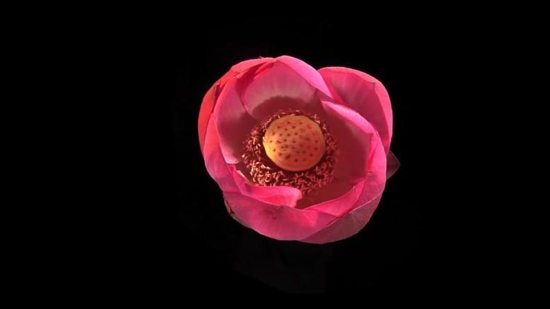 تایم لپس زیبا از گل نیلوفر
