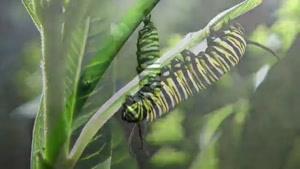 تبدیل شدن کرم ابریشم به پروانه