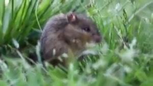 موش علفزار