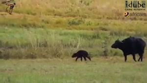 حمله شیر ها به بوفالو