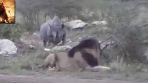 حمله کرگدن به شیر ها
