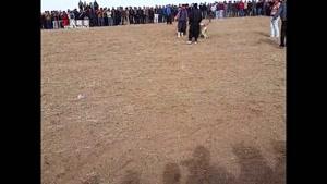 شرطبندی میلیونی در مبارزه خونین سگها در زنجان