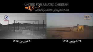 خبر خوش از توله یوز یتیم جاده عباس آباد/ چکو زنده است فیلم