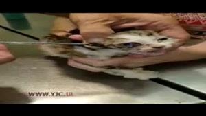 عمل جراحی دردناک یک گربه