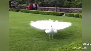طاووس بسیار زیبا