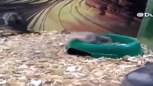 ملق زدن جالب موش خانگی