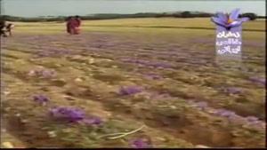 توليد و صادرات زعفران ايران