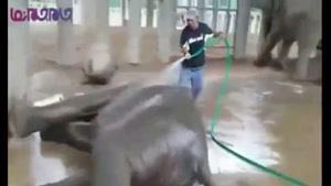 حمام کردن یک فیل