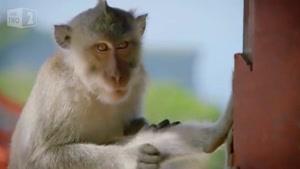 میمون های دزد