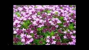 گل آویشن زینتی