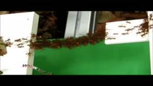 پُل هوایی از جنس مورچه با ساختاری شگفت انگیز