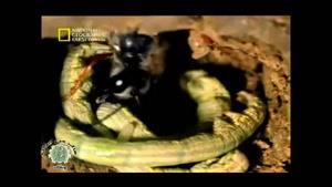 مستندی زیبا از حشره ای به نام آموفیل
