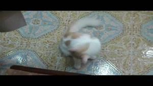 گربه سفید و مهربون