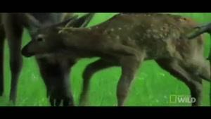 شکار غافلگیرانه آهو توسط خرس گریزلی