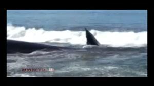 نهنگ غول پیکر در ساحل به گل نشست