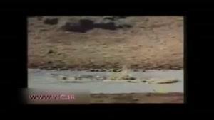 نجات بچه آهو از چنگال کروکودیل