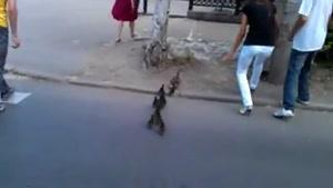 کمک به اردک سرگردان و جوجه هایش در خیابان