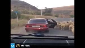 گوسفند دزدی عجیب!!