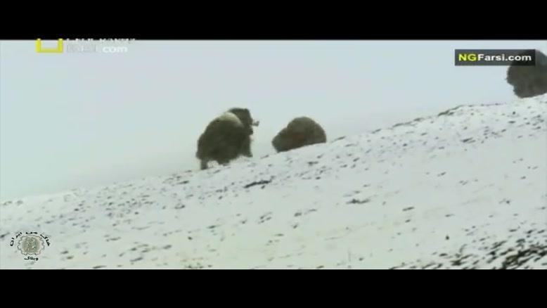 مستند فارسی - طبیعت روسیه - قطب شمال - قسمت 6
