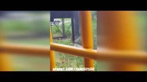 کشتن خرس سیاه توسط ببرهای تنومند و وحشی