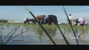 واردات برنج و مشکلات شالیزار کارها