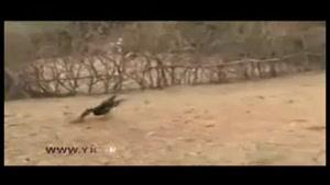 تلف شدن طاووسها در پاکستان