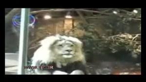 حملهی غافلگیرانه شیرهای خشمگین به نگهبان