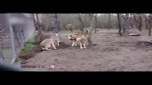 وقتی گرگ ها یک سگ را اسیر می کنند