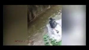 گرفتار شدن کودک سه ساله در چنگال گوریل غول پیکر