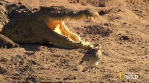 نبرد بین مارمولک و پرنده