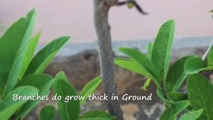 آموزش باغبانی - رشد سیب شیرین یا Sweetsop