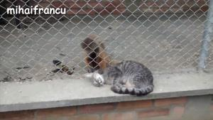 گربه های بمب خنده