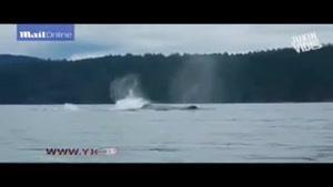 بازی مهیج یک نهنگ مقابل دوربین کایاک سواران/ هیجانی که ناگهان به وحشت تبدیل شد