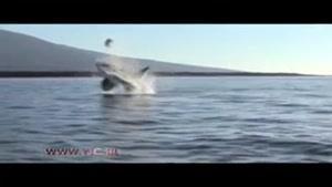 لحظه جالب شکار لاک پشت توسط نهنگ قاتل