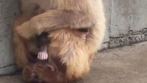 مستند تولد بچه میمون