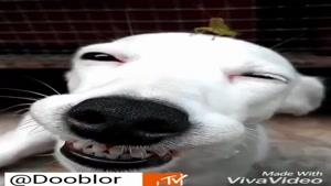 سگ با نمک و ملخ آویزون