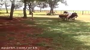 گاوه با گوسفنده دعواش میشه گاوه ضربه فنی میشه 😳