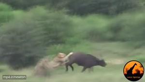 نبردی جانانه بین شیر و بوفالو