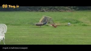 دعوای خروس جنگی و طاووس نر