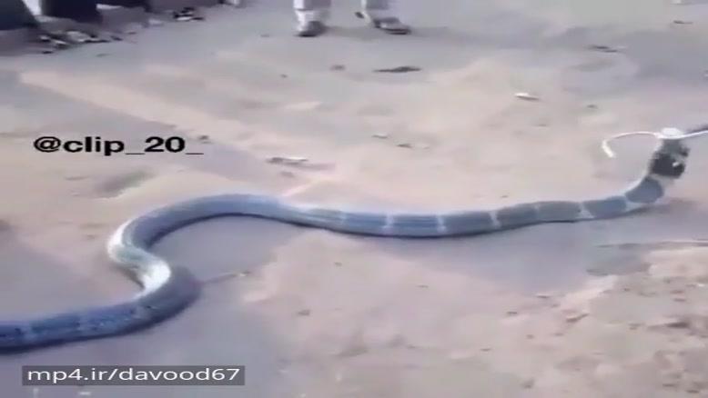 حیوانات(بزرگترین نژاد مار کبری)