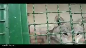 گرگهای گرسنه در باغ وحش مجتمع باری در نزدیکی ارومیه