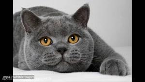 ۱۰ نژاد بسیار ناز و زیبا گربه