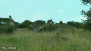 فیلم مستند بلند قد ترین زرافه های جهان در افریقای جنوبی hd