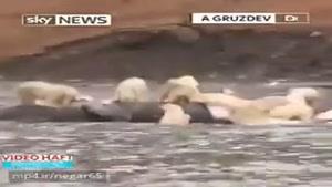 ضیافت شاهانه 200 خرس قطبی با یک نهنگ غولپیکر