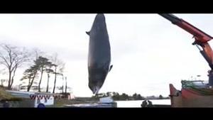 بلعیدن کیسههای پلاستیکی عامل خودکشی یک نهنگ