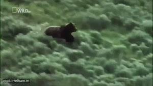 حمایت بوفالوی مادر در مقابل خرس از بچه اش