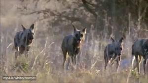 سگهای وحشی آفریقایی موفقترین شکارچیان جهان هستند. ارتش خارقالعادهی این حیوانات در ۸۵ درصد از موا