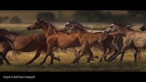 تقدیم به دوستداران اسب اسب های وحشی