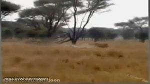 شکارچیتا توسط شیر